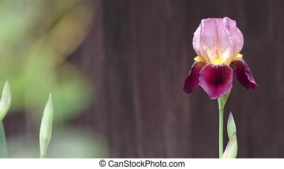 iris flower  - Reddish purple iris flower
