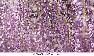 Wisteria in the Japanese Garden - purple wisteria trellis in...