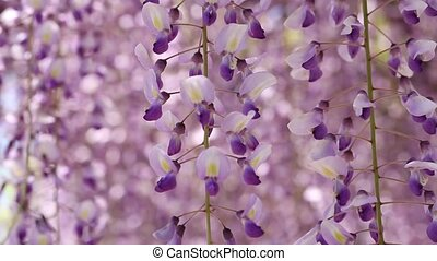 wisteria flowers - purple wisteria trellis in the Japanese...