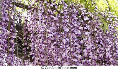 purple wisteria trellis in the Japanese garden
