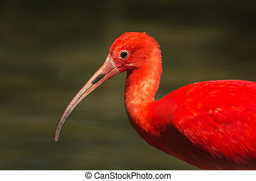 Scarlet ibis Eudocimus ruber is a species of ibis in the...