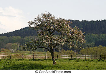 Apple tree in Lower Saxony, Germany with Teutoburg forest in...