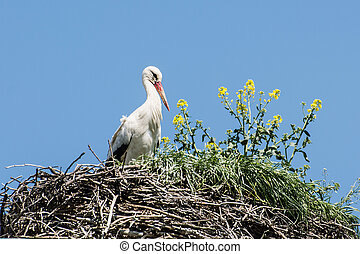White stork Ciconia ciconia in the nest - White stork...