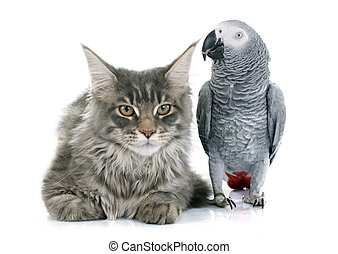 African grey parrot and cat - African grey parrot and maine...