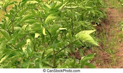grow potato plant - close up of green potato plant swing in...