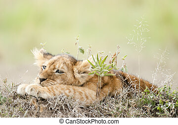 melancholy - African lions whelp Panthera Leo in Masai Mara...