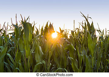 Corn field with evening sun
