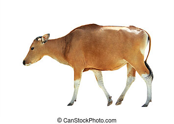 a brown cow isolated on white background
