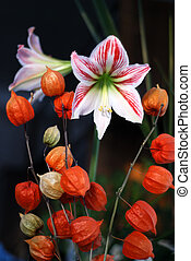 Physalis and amaryllis - orange flowers of Physalis and...