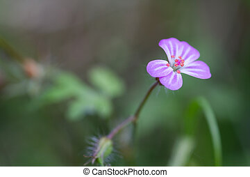 Herb Robert Geranium robertianum in the wild