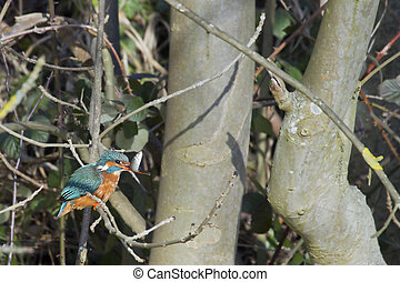 Kingfisher Alcedo atthis perched on a branch feeding
