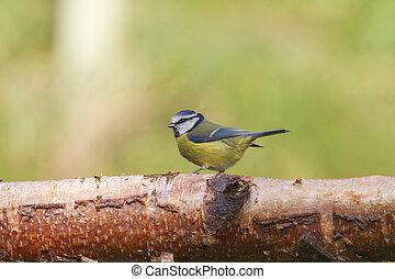 Bluetit Parus caeruleus perched on a log