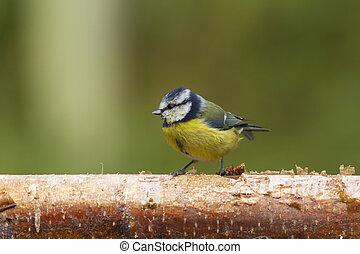 Bluetit (Parus caeruleus)  perched on a log