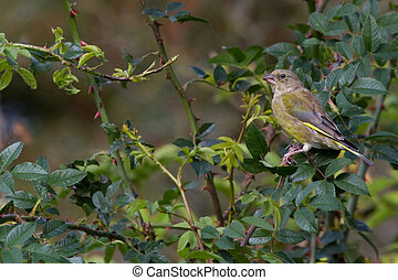 Greenfinch Carduelis chloris perched on a branch