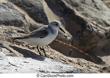 European Sanderling  (Calidris alba) standing on rocks