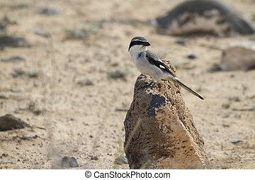 Southern Grey Shrike - Lanius meridionalis - Southern Grey...