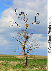 Rooks sit in the trees in the steppe, Rostov region, Russia