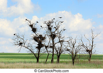 Rooks sit in the trees in the steppe, Rostov region, Russia.