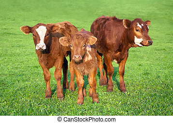 Portrait of 3 nice brown calves on a fresh green meadow,...