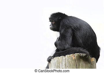 Black Spider Monkey Ateles paniscus resting High up