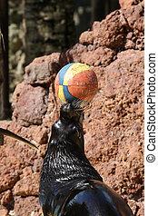 Sea lion - sea lion doing tricks with a ball