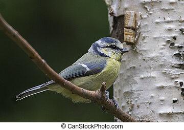 Blue Tit  (Parus caeruleus) closeup perched on a branch