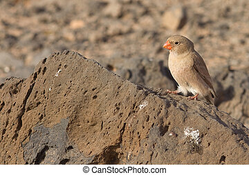 Trumpeter Finch (Budanetes githagineus amantum) from...