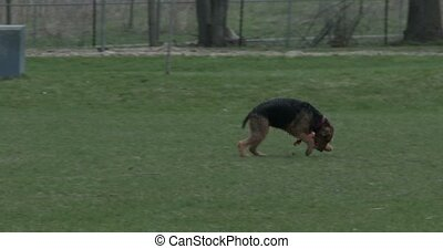 Dog running with frisbee in his mouth in a park