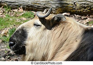 Takin Antelope Portrait - Bright profile of a unique Asian...