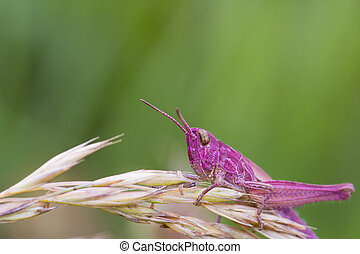 Pink Grasshopper perched on a grass stem closeup