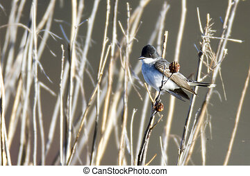 Eastern Kingbird in reeds - Eastern Kingbird perches...