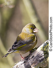 Greenfinch (Carduelis chloris) - Greenfinch preched on a...