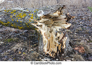 The trunk of a broken tree.