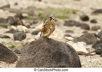 Kestrel (Falco tinnunculus) Perched on a rock