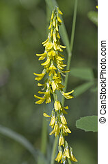 Ribbed Melilot (Melilotus officinalis) wild flower found in...