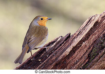 Robin (Erithacus rubecula) perched on a branch