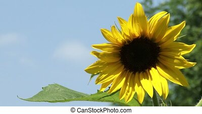 Bright yellow sunflower growing in small garden