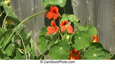 Nasturtium with orange flowers