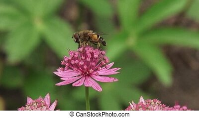 Great masterwort, Astrantia maxima in bloom + hoverfly -...