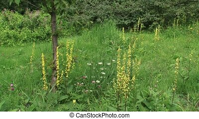 Dark Mullein Verbascum nigrum blooming in field + pan