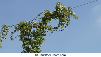 Close up of hops cultivation