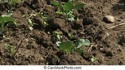 Small cabbage plants just transplanted in the field of a...