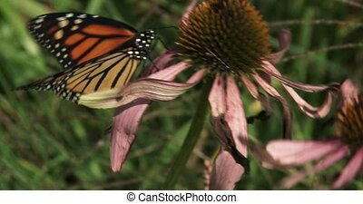 Monarch butterfly on a flower in a very windy day