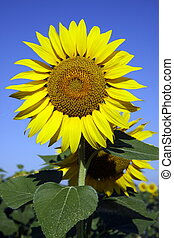 Sunflower in sunflower field with blue sky
