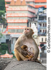 Indian Macaque monkeys at Laxman Jhula bridge, Rishikesh,...