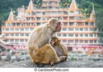 makákó, indiai, majmok