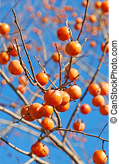 persimmon - asian persimmon on the tree