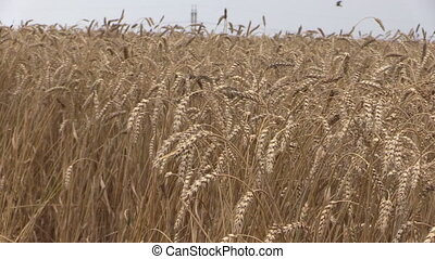 grain combine field stork - turn view of swinging grain and...