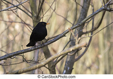 Blackbird (Turdus merula) perched on a branch