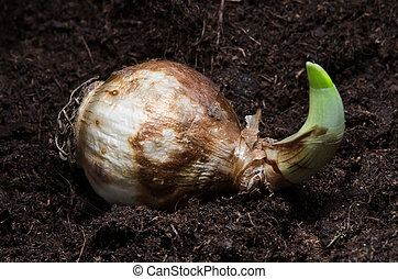 Narcissus bulb - Sprouting daffodil bulb on earth, other one...